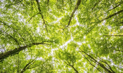Tops of trees in a forest